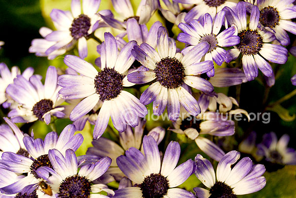 Cineraria Purple