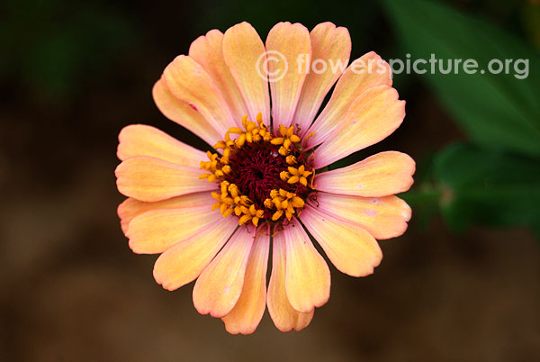 Coral color zinnia