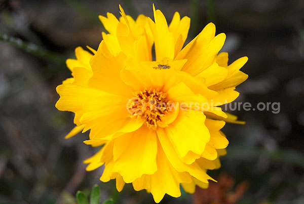 cosmos yellow