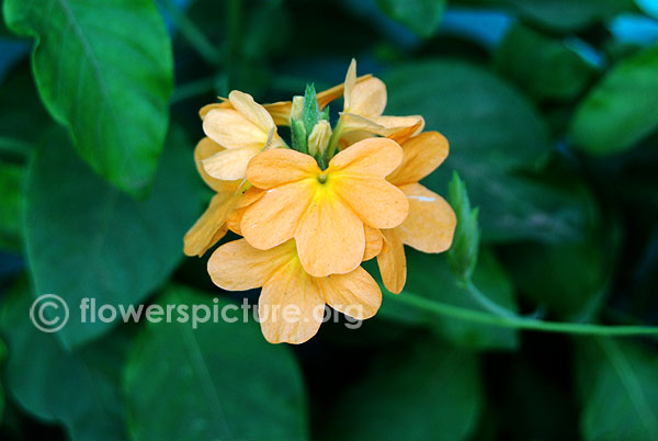 Crossandra undulifolia yellow
