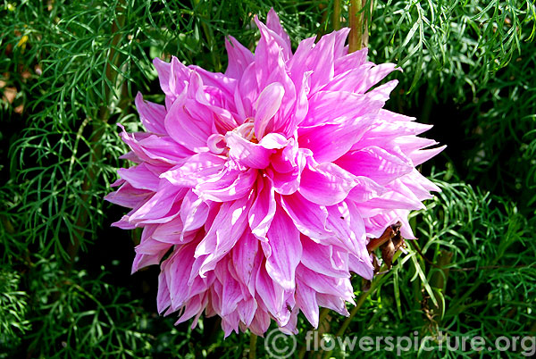 dahlia baby pink