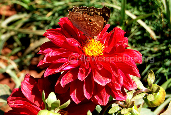 dahlia red with butterfly