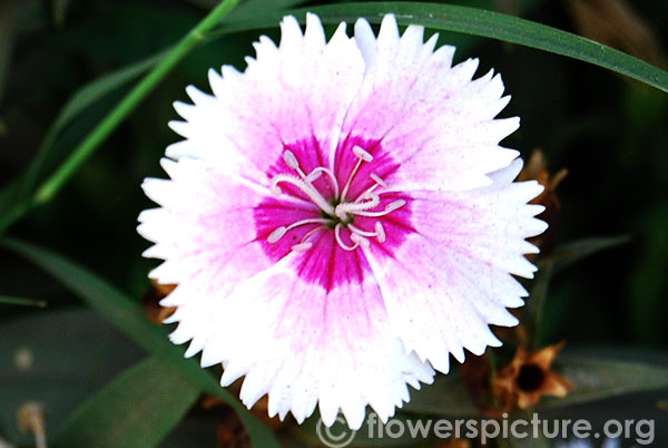 Dianthus pink with white