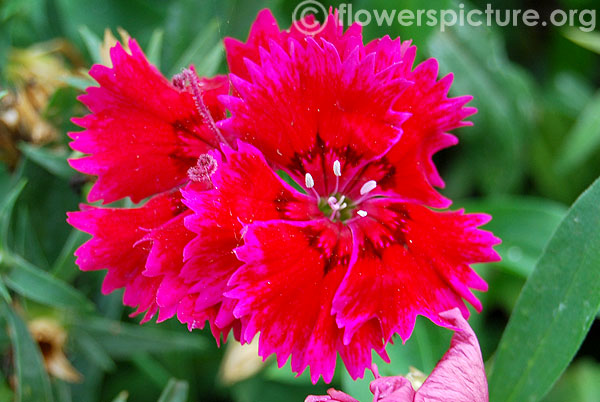 Dianthus red with black