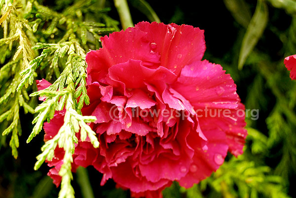 Dianthus pink red