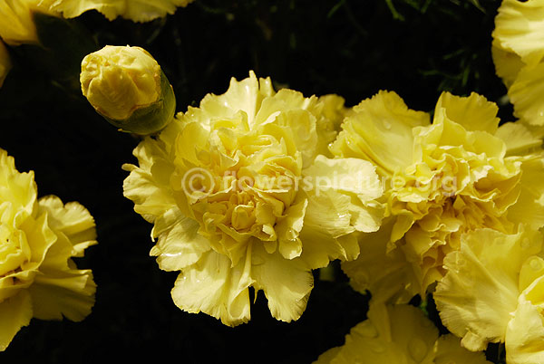 Dianthus Yellow