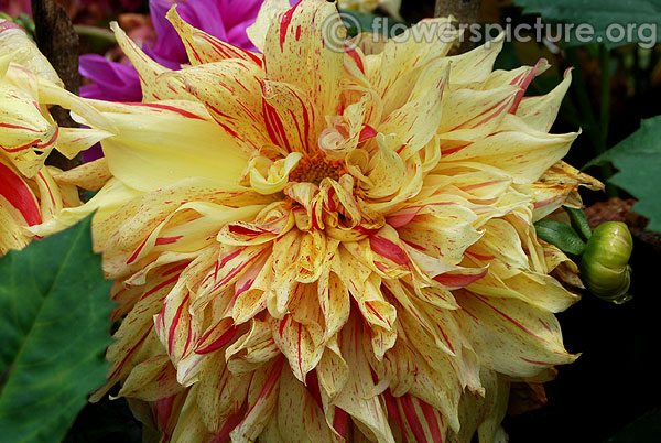 Yellow and red striped dinner plate dahlia