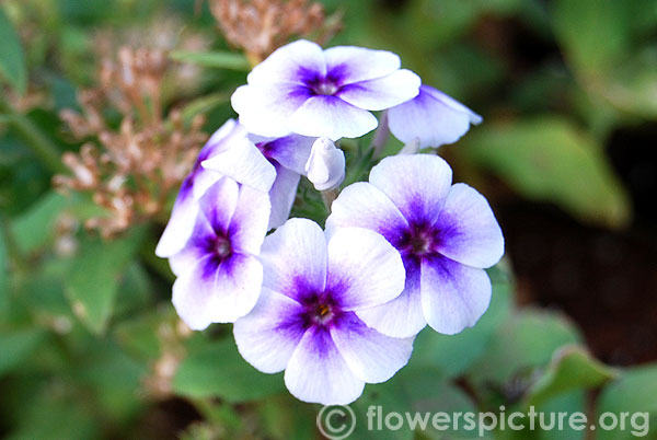Garden phlox white with blue