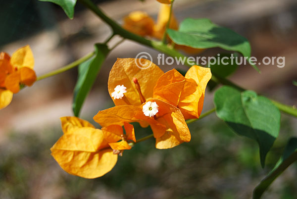 Gold bougainvillea