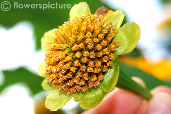 Japanese sunflower seed