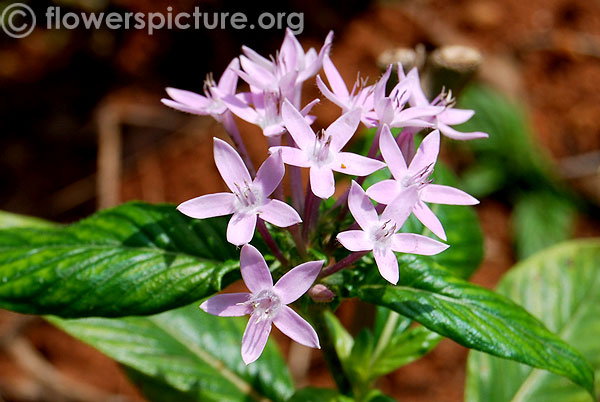 Lavender egyptian star cluster
