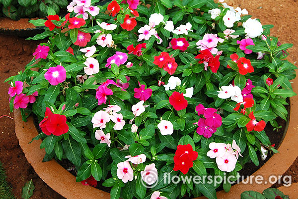 madagascar periwinkle white red