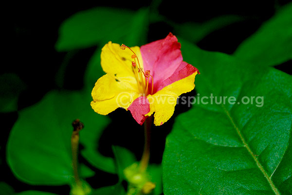 mirabili jalapa yellow with red