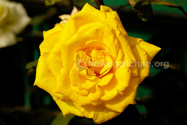 ooty rose yellow