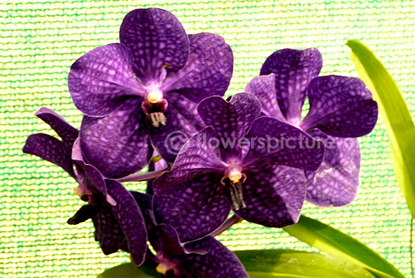orchid blue purple