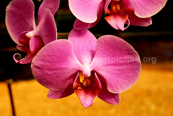 orchid pink single