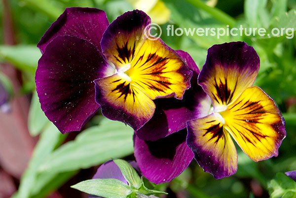 Panola yellow purple pansy