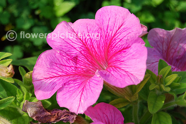 Petunia Seeds Petunia Celebrity Ice Mix Seeds 50 Pelleted ...