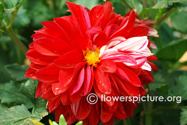 Red and white variegated dahlia