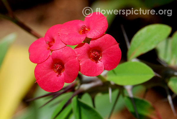 Red euphorbia milii