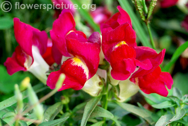 Red with yellow snapdragon