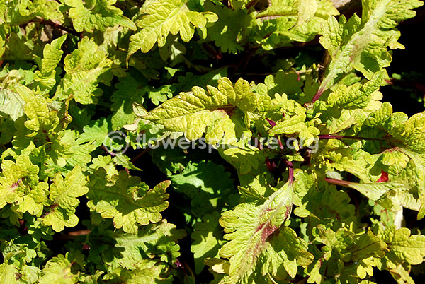 rex begonia green goddess