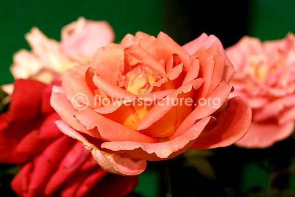 rose brink pink yellow bicolour