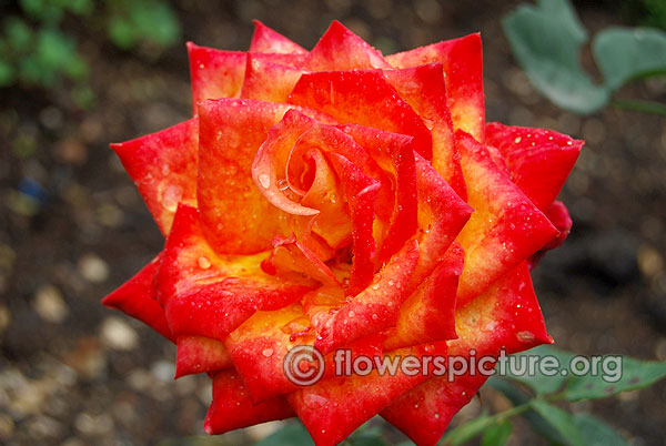 rose debian red