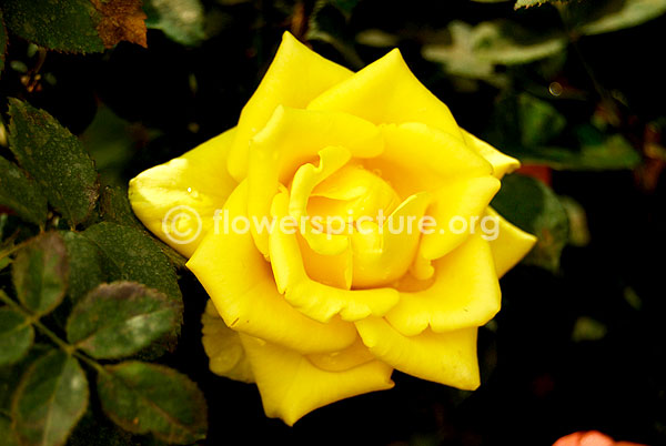 rose golden yellow