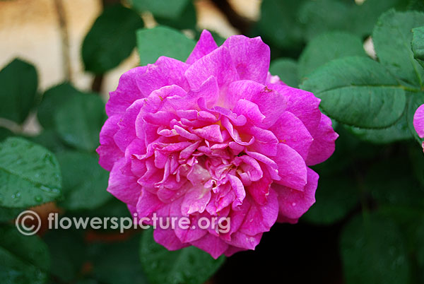 rose purple