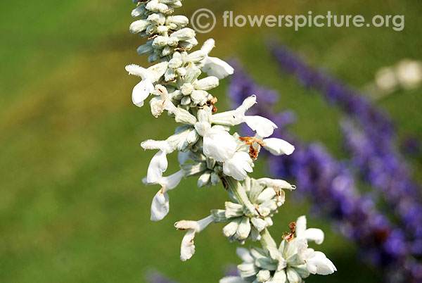 Salvia farinacea white