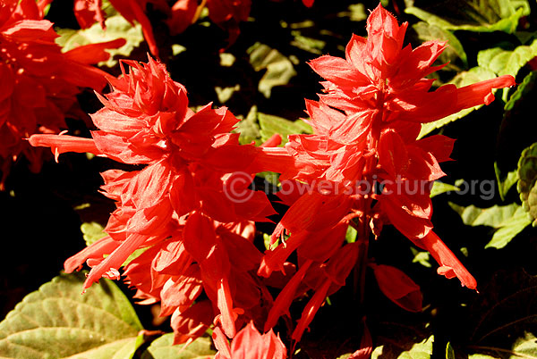 salvia splendens red