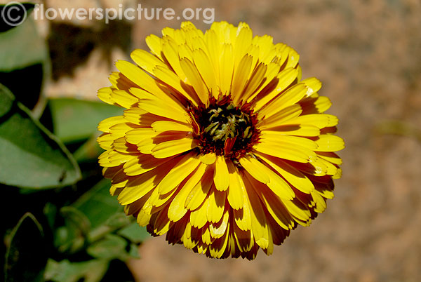 Scottish marigold