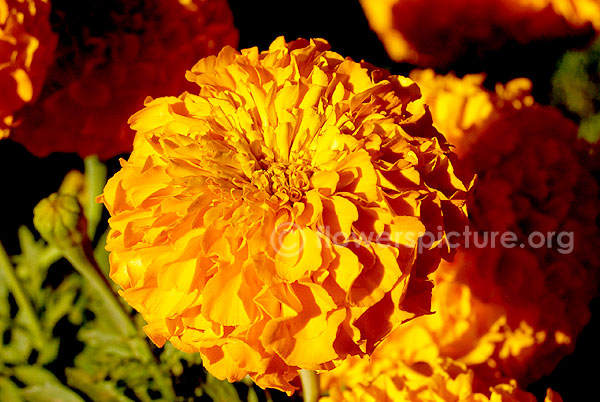 tagetes erecta orange