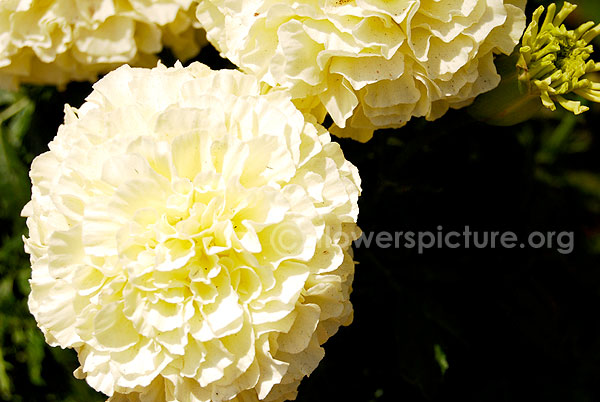 tagetes erecta white