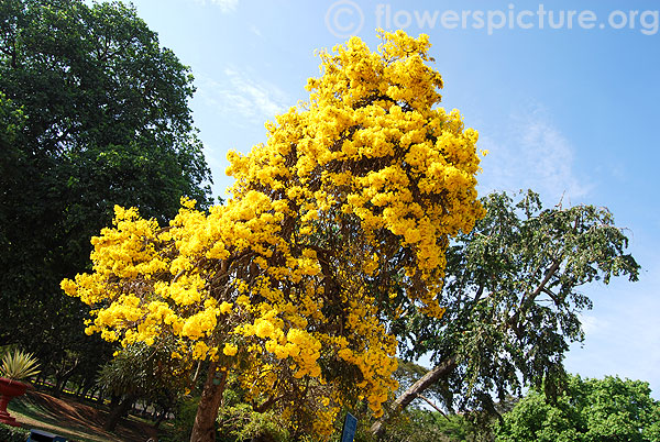 Flowers by color yellow yellow flowers images - Trees that bloom yellow flowers ...