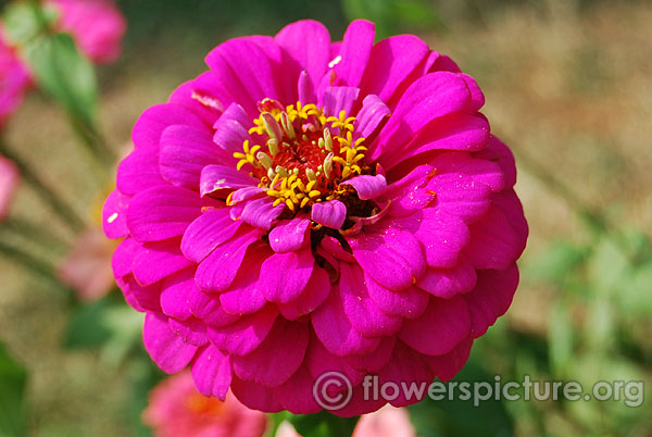 Purple prince zinnia