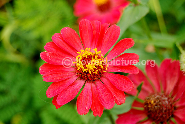 zinnia angustifolia profusion red