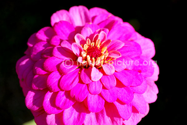 zinnia angustifolia purple