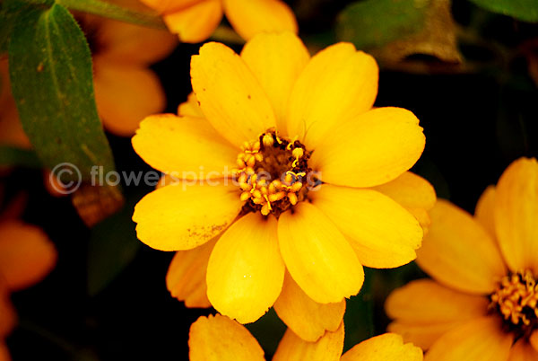 zinnia grandiflora yellow orange