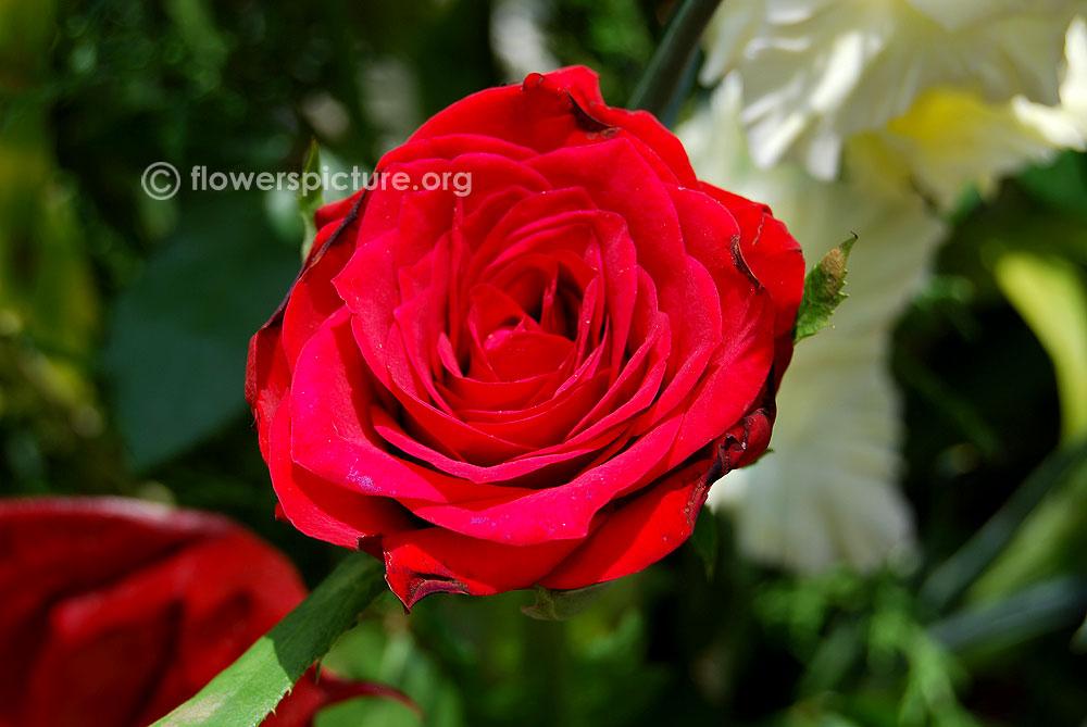 Alec S Red Rose Rosa Alec S Red