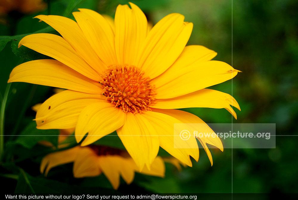 Giant Mexican Sunflower Tithonia Diversifolia
