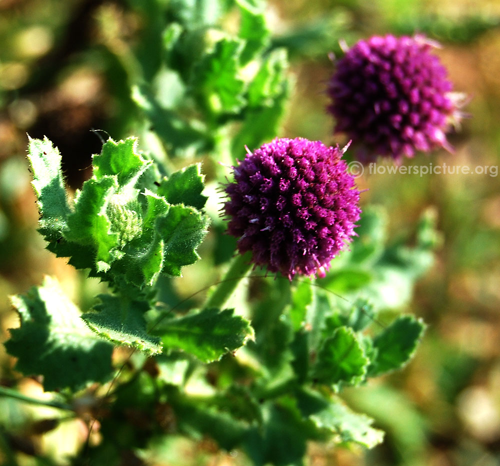 East Indian Globe Thistle