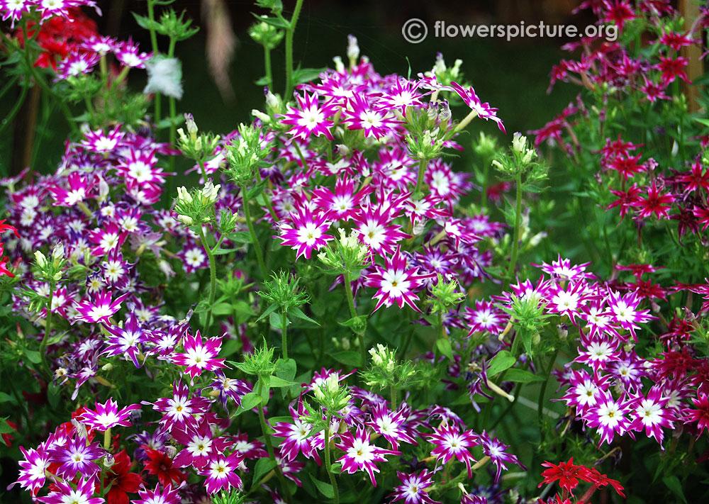 Phlox Drummondii Phlox flower varieties